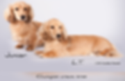 Champion Longhaired Miniature Cream Dachshunds
