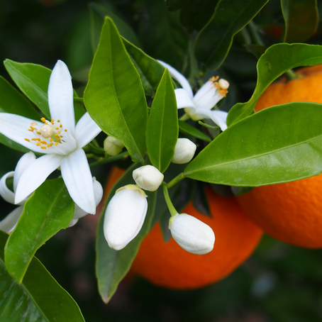 L'hydrolat de Fleur d'oranger