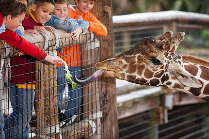 kids feeding a giraffe at the zoo