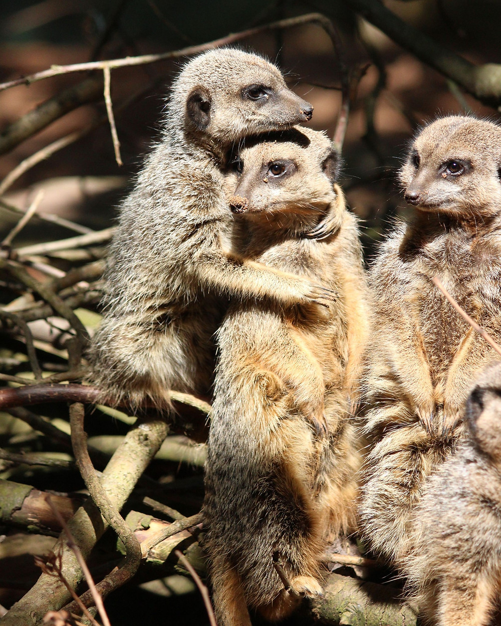 Meerkats hugging at Bristol Zoo Gardens