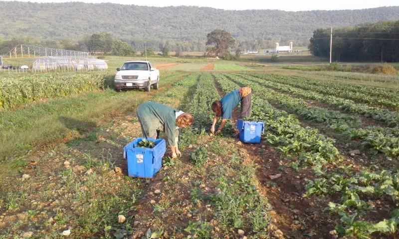 Spinach harvest