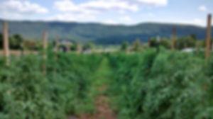 organic tomato crop