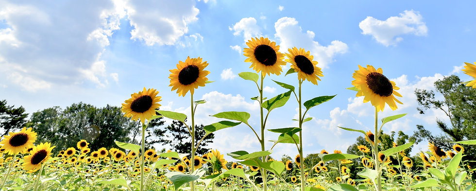 yellow sunflowers under white clouds and