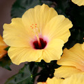 Hibiscus geel