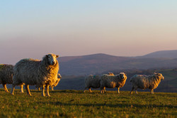 Our Whiteface Dartmoors at sunset