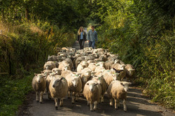 Walking one of our flocks