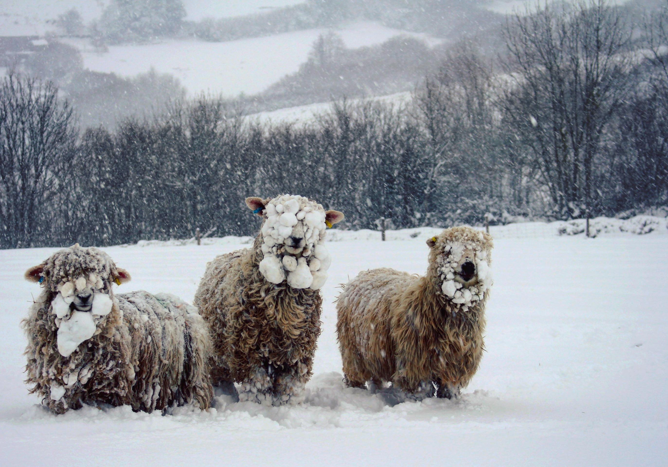 Dartmoor sheep in the snow