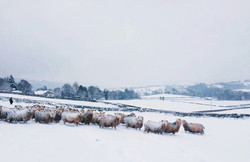 Whiteface Dartmoors in the Snow