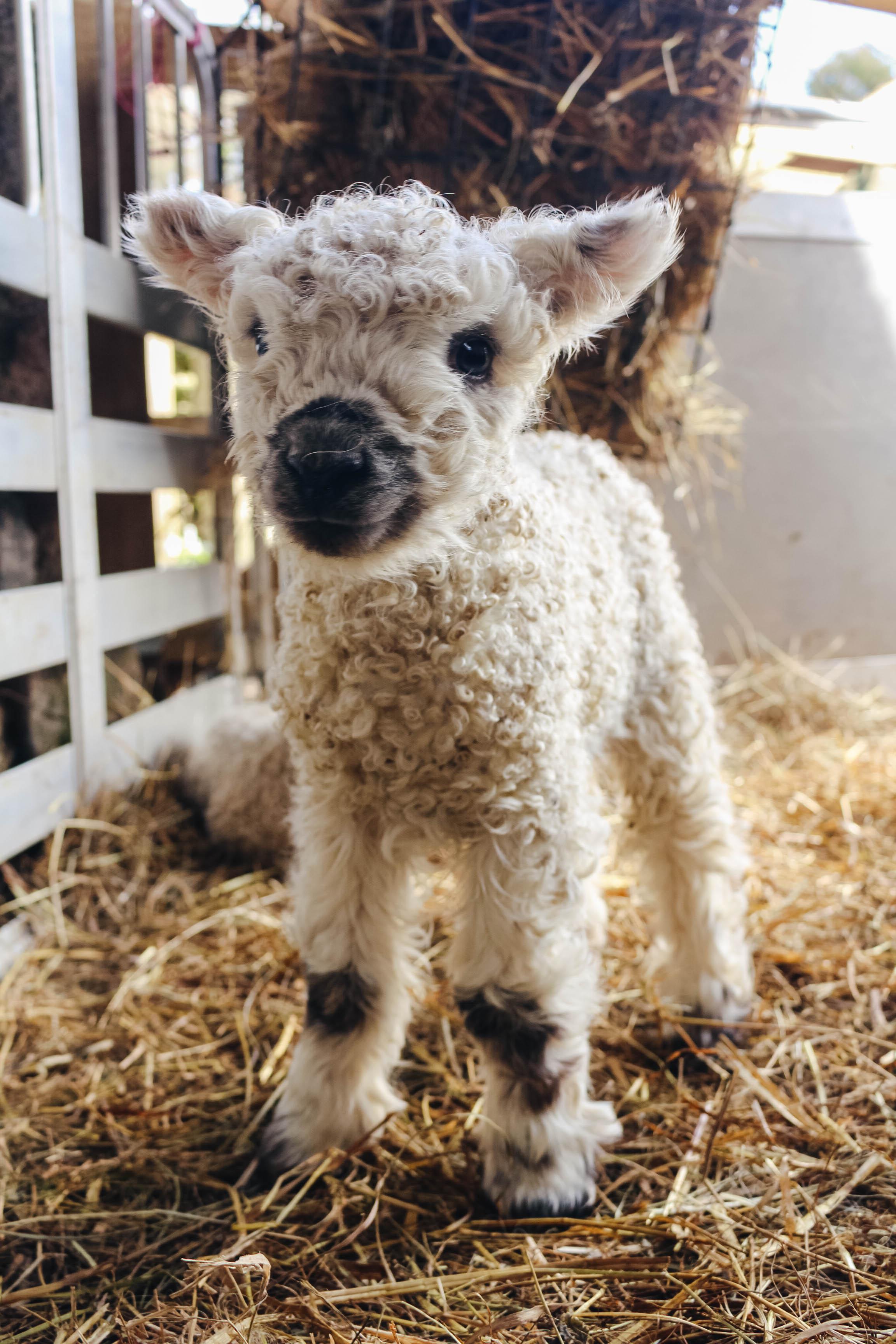 Greyface Dartmoor Lamb