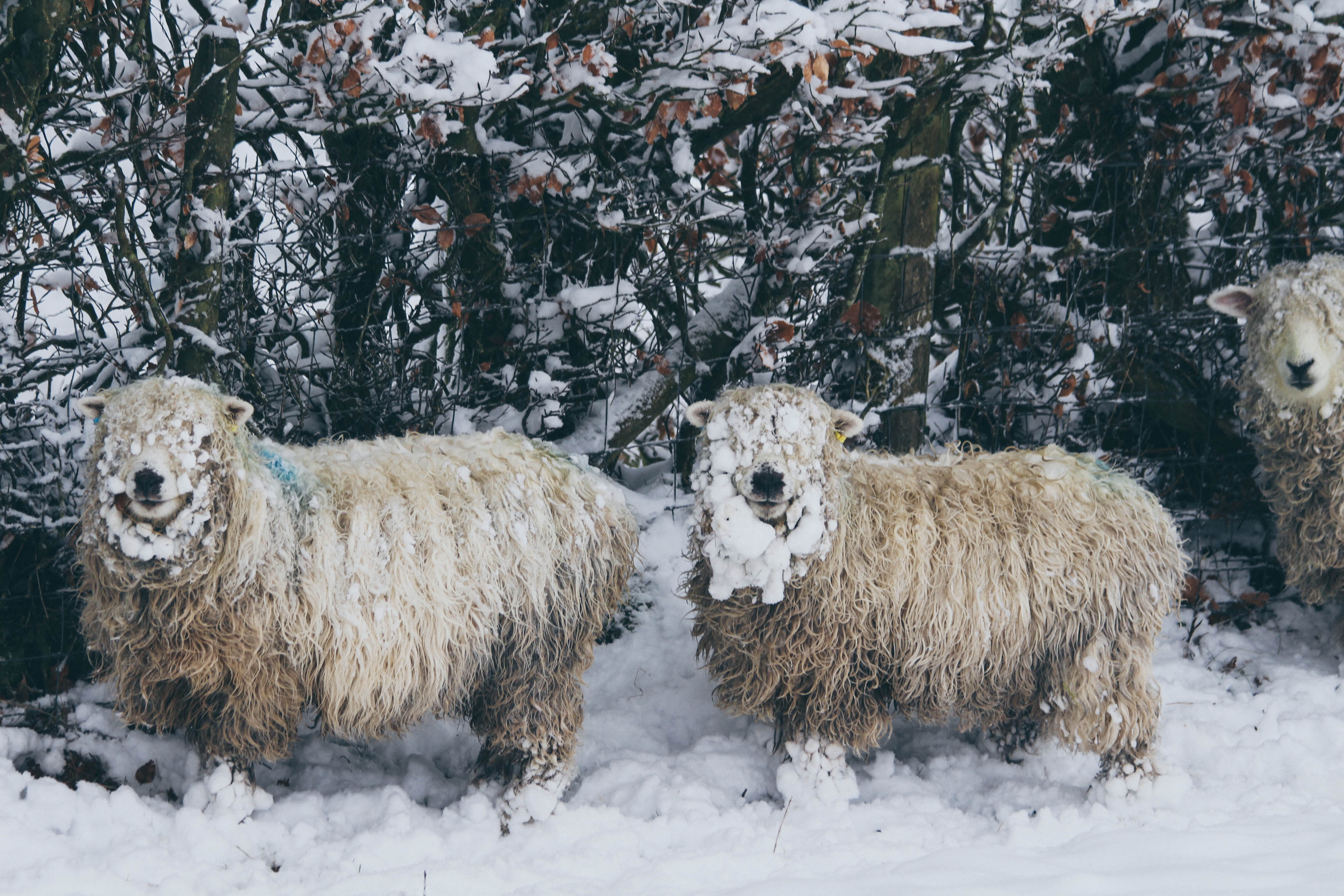 Sheep in the snow at Weddicott