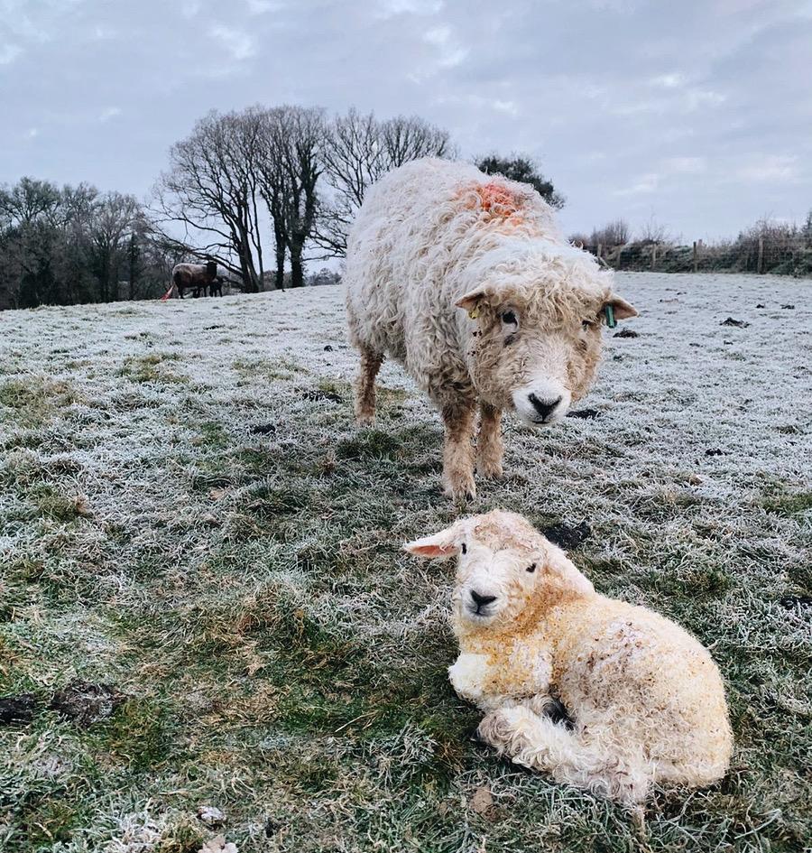 Lambing Devon and Cornwall Longwool ewe and lamb