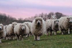 Walking the sheep at sunset