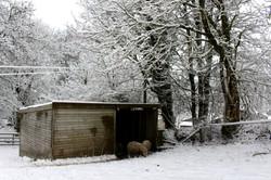 Sheep sheltering at Everley