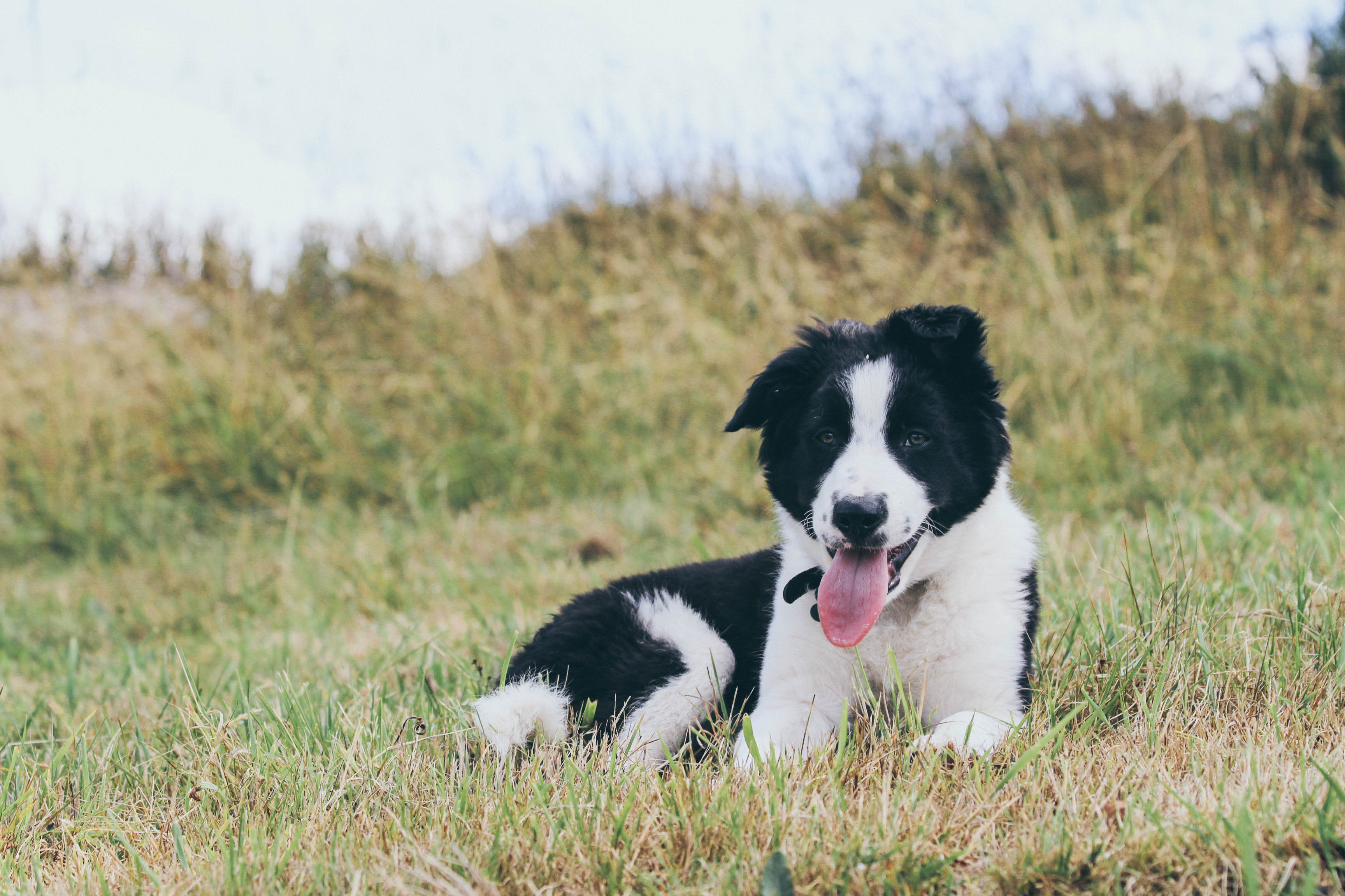 Moss resting after sheepdog lessons