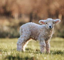 Devon and Cornwall Longwool Lamb