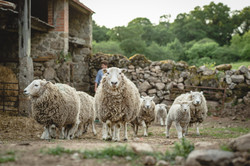 Some of our Whiteface Dartmoors
