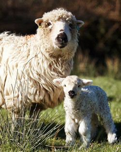 Lambing 2021 Photo by Isabelle Geran