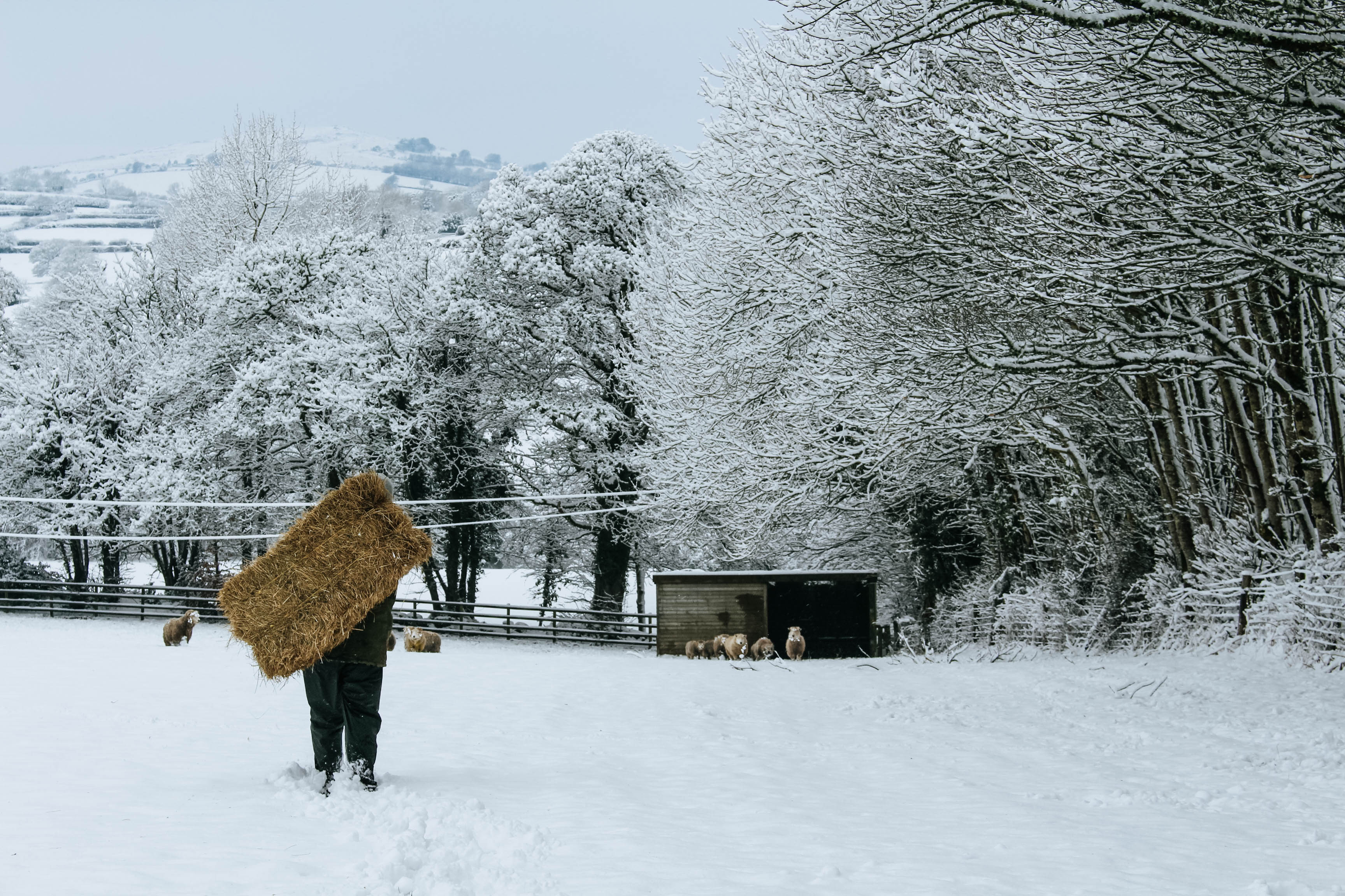 Feeding the sheep at Everley