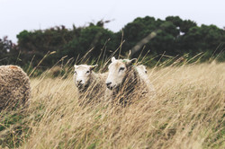 Some of our Whiteface Dartmoor ewes