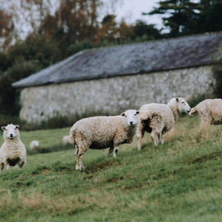 Our Whiteface Dartmoor Ewes
