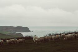 Lambs over wintering at Thurlestone