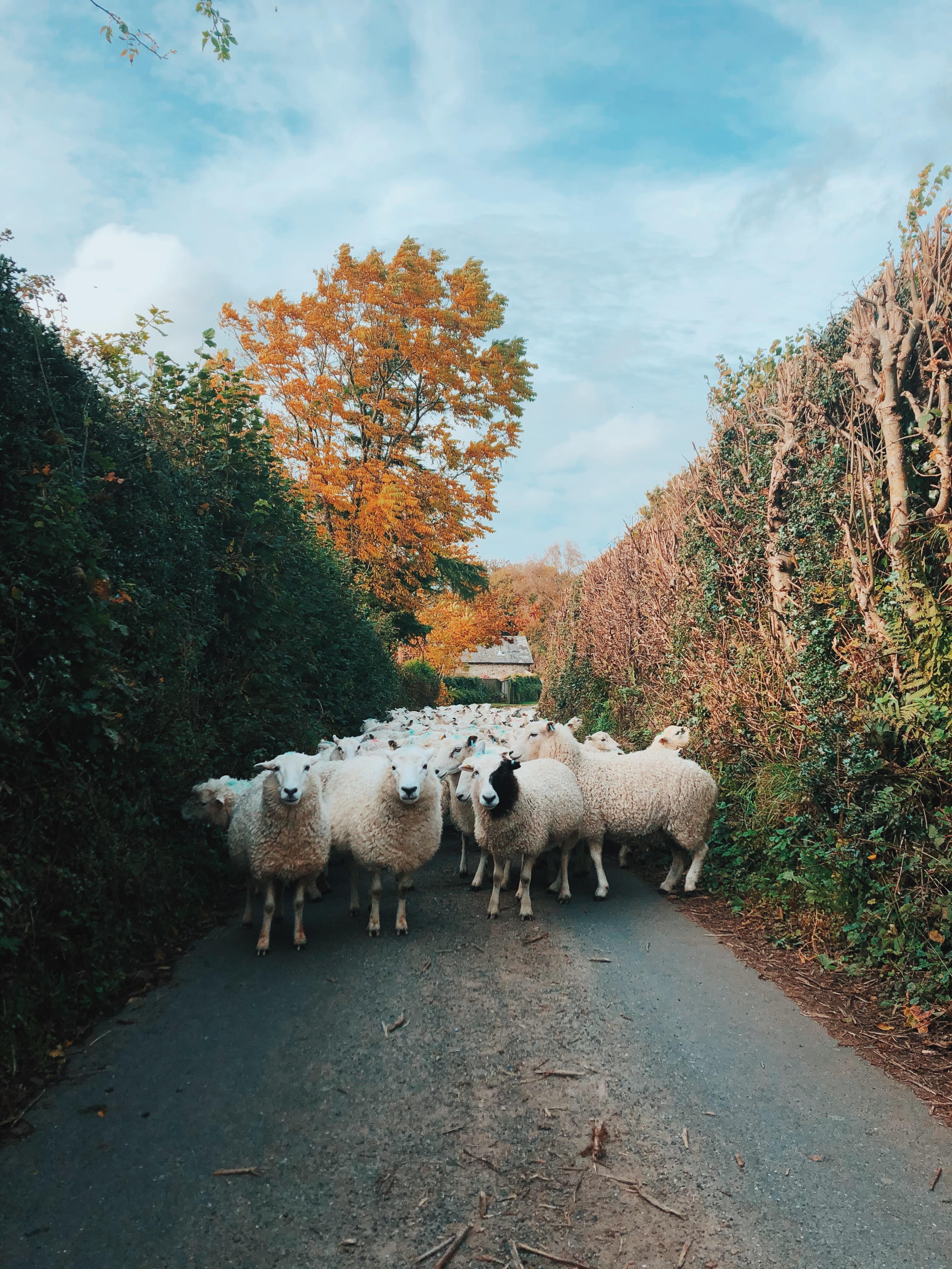 Walking our Whiteface Dartmoors down Devon lanes