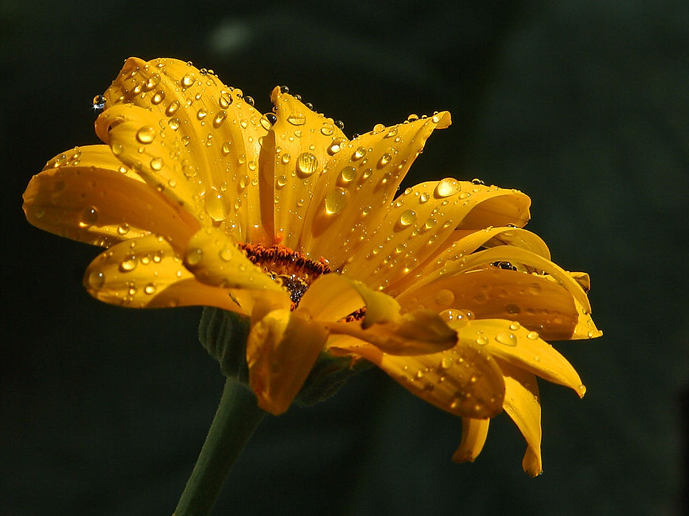 Sunflower with water drops
