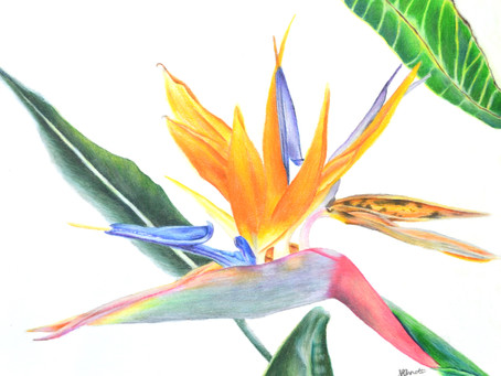 Bird of Paradise Color Sheet (It's Free!)