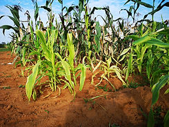 Corn plant damaged by stress environment