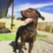 Chocolate lab having a great time at dog daycare here at Bark's Play and Stay in Grand Junction!