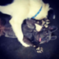 French Bulldog, Moe getting some playtime in at Bark's Play and Stay in Grand Junciton