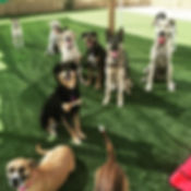A group of daycare dogs at Bark's Play and Stay in Grand Junction