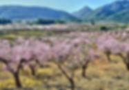 almond blossom Jalon.jpg