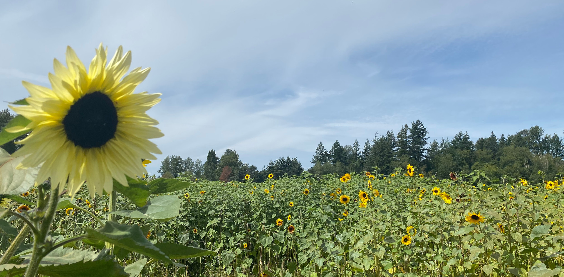 Sunflower Field at Home Farm