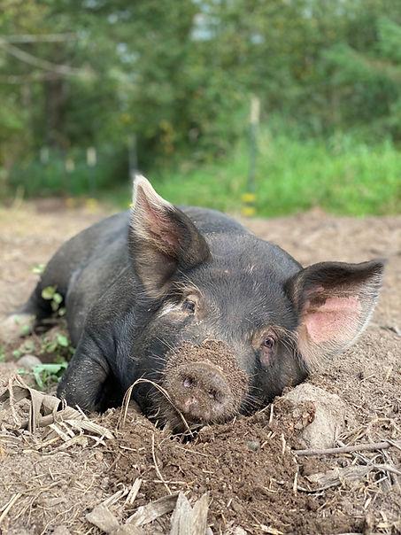 Pig image.jpg