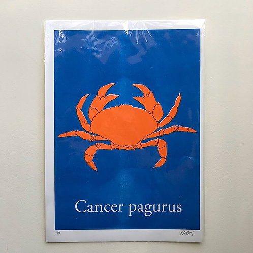 Cancer pagurus-Orange