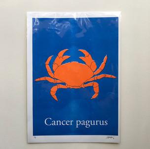 Cancer pagurus
