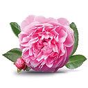 дамасск роза.jpg