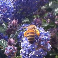 Réserves de pollen...