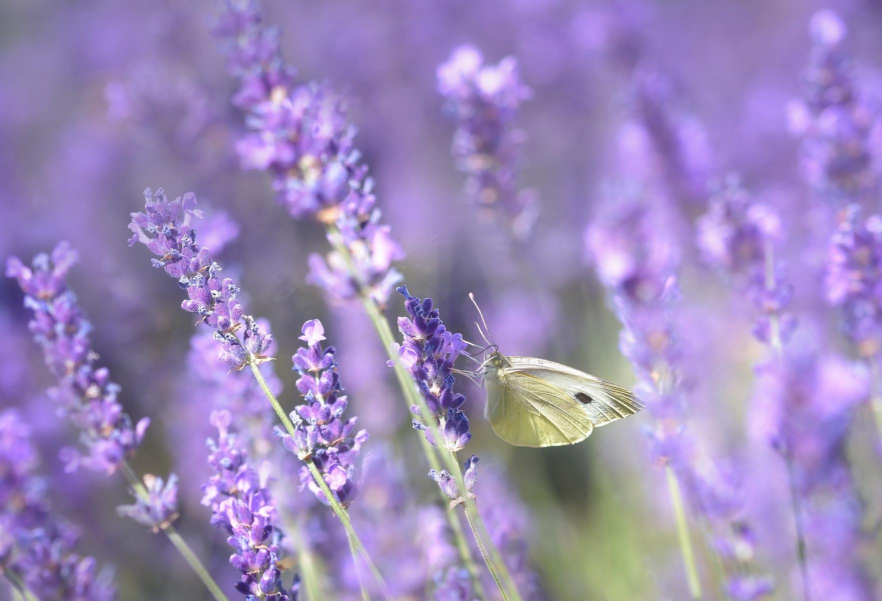 lavender-3494949.jpg