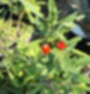 Red Goji Berries Permaculture superstar