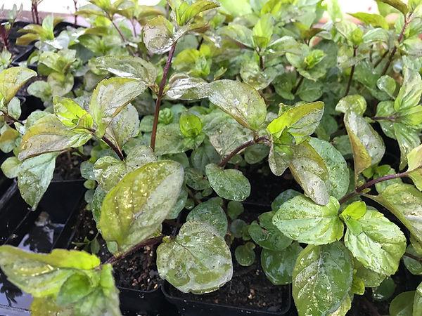 Orange mint  Great container plant