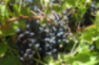 Leon Millot Wine Grape Coorado Permacultur