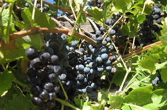 Leon Millot wine grapes Courtesy Irina K.