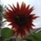 Lone honeybee colleting pollen in red sunflower