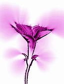 kirlian-flower-1-magenta copy.jpg