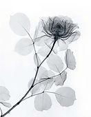 rose-x-ray-print-1936-white copy.jpg