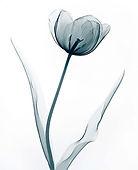 tulip-x-ray-printable-bllue-on-white cop