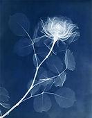 rose-x-ray-print-1936-blue copy.jpg