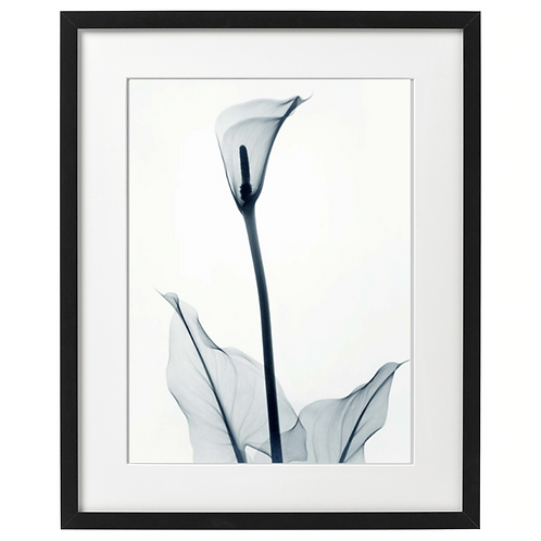 Lilia Calla, zdjęcie x-ray, black. Plakat 30x40 cm